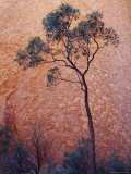 Desert Bloodwood Tree against the Red Sanstone of Uluru, Ayres Rock, Australia Photographic Print by Jason Edwards