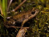 Eastern Common Froglet Rests on Mosses in a Pond, Australia Photographic Print by Jason Edwards