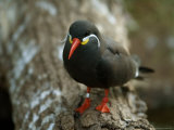 Inca Tern at the Sedgwick County Zoo Photographic Print by Joel Sartore