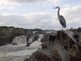 Great Blue Heron on Rock Overlooking Great Falls Photographic Print by Skip Brown