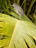 Juvenile Yellow-Crowned Night Heron, Belize Photographic Print by Tim Laman