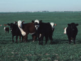Group of Cattle in a Farmer&#39;s Field Photographic Print by Ira Block