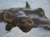 Hippopotamus Goes for a Swim at the Sedgwick County Zoo, Kansas Photographic Print by Joel Sartore