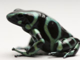 Green-And-Black Poison Dart Frog, Sedgwick County Zoo, Kansas Photographic Print by Joel Sartore