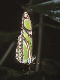 Green Butterfly Pearly Malachite, Spiroeta Stelenes, Costa Rica Fotoprint van James Forte