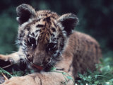 Four-Month-Old Bengal Tiger Cub in an American Zoo Photographic Print by Ira Block