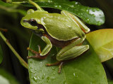 Endangered Pine Barrens Treefrog Hops Onto a Leaf Photographie par George Grall