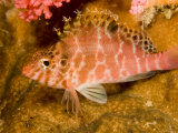 Hawkfish Resting on Coral, Malapascua Island, Philippines Photographic Print by Tim Laman