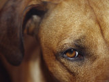 Floopy Ear and Watchful Stare of a Rhodesian Ridgeback Dog, North Carlton, Australia Photographic Print by Jason Edwards