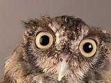 Eastern Screech Owl, Lincoln, Nebraska Fotografisk tryk af Joel Sartore