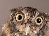 Eastern Screech Owl, Lincoln, Nebraska Photographic Print by Joel Sartore