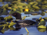 Common Loon on Bottenintnin Lake, Alaska Photographic Print by Rich Reid