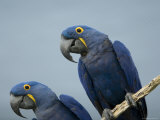 Hyacinth Macaws at the Sedgwick County Zoo, Kansas Stampa fotografica di Sartore, Joel