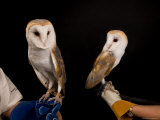 European Barn Owl and an American Barn Owl, Lincoln, Nebraska Photographic Print by Joel Sartore
