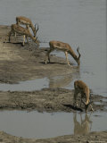 Impalas Drinking Timidly at a Waterhole During Drought Photographic Print by Jason Edwards
