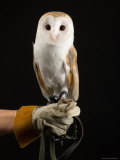 European Barn Owl, Lincoln, Nebraska Photographic Print by Joel Sartore