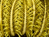 Detail of a Crinoid Feather Star, Malapascua Island, Philippines Photographic Print by Tim Laman