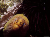 Hunting Green Moray Eel&#39;s Nose Snout Peers Beneath Purple Sea Urchin, Australia Photographic Print by Jason Edwards