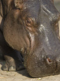 Hippopotamus at the Sedgwick County Zoo, Kansas Photographic Print by Joel Sartore