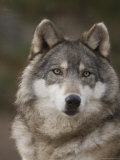 Gray Wolves at the Rolling Hills Wildlife Adventure Photographic Print by Joel Sartore