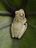 Gray Treefrog Hunkers Down on in a Leaf Center Photographic Print by George Grall