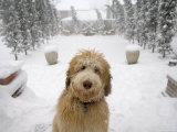 Dog Plays Outside after a Snowstorm in Lincoln, Nebraska Photographic Print by Joel Sartore