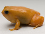 Golden Mantella, Sedgwick County Zoo, Kansas Photographic Print by Joel Sartore