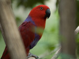 Female Grand Eclectus Parrot at the Zoo Photographic Print by Joel Sartore