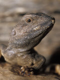 Jacky Lizard, Lashtail Dragon, Head, Eye and Mouth Detail, Australia Photographic Print by Jason Edwards