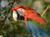 Green-Winged Macaw from the Sedgwick County Zoo, Kansas Stampa fotografica di Sartore, Joel