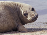 Face Portraite of a Cute, Friendly Southern Elephant Seal on a Beach, Australia Photographic Print by Jason Edwards