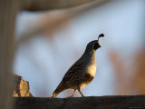 Gambel's Quail at the Omaha Zoo, Nebraska Photographic Print by Joel Sartore