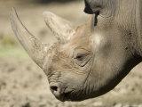 Eastern Black Rhinocerosfrom the Sedgwick County Zoo, Kansas Photographic Print by Joel Sartore