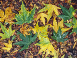 Fall Color Sycamore Leaves Mosaic in Santa Ynez, California Photographic Print by Rich Reid