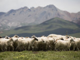 Flock of Sheep, Qinghai, China Photographic Print by David Evans