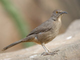 Curve-Billed Thrasher at the Omaha Zoo, Nebraska Photographic Print by Joel Sartore
