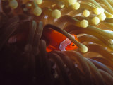 False Clown Fish, Amphiprion Ocellaris or Anemonefish, Solomon Islands Fotografisk tryk af James Forte