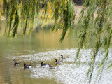 Geese in Central Park Photographic Print by Stacy Gold