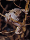 Desert Tree Frog Climbing Through a Small Shrub in Search of Prey, Australia Photographic Print by Jason Edwards