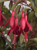 Fuschia Flower, California, Photographic Print