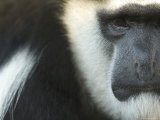 Eastern Black-And-White Colobus Monkey, Sedgwick County Zoo, Kansas Stampa fotografica di Sartore, Joel