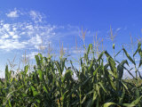 Field of Corn against a Clear Blue Sky, Virginia Photographic Print by Kenneth Garrett