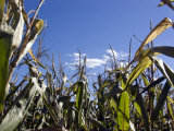 Frog's Eye View Looking Up at Corn Stalks Photographic Print by Stacy Gold