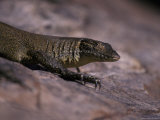 Head and Front Leg Claw Detail of a Mertens Water Monitor Sun Basking, Australia Photographic Print by Jason Edwards