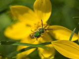 Insect Feeds on Yellow Correopsis Flowers, Elkhorn, Nebraska Fotoprint van Joel Sartore