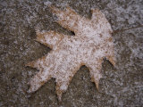 Fresh Snowflakes Highlight a Fallen Leaf Photographic Print by Stephen St. John