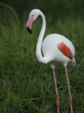 Greater Flamingo at the Sedgwick County Zoo, Kansas Photographic Print by Joel Sartore