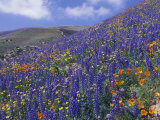 Impressionistic Color: Coreopsis, Gilia, California Poppy and Lupine Fotografisk tryk af Rich Reid