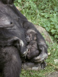 Cute Western Lowland Gorilla Infant Nursed Tenderly by its Mother, Melbourne Zoo, Australia Photographic Print by Jason Edwards