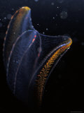 Delicate Comb Jelly, Neis Genus, Displays Underwater Bioluminescence, Australia Photographic Print by Jason Edwards